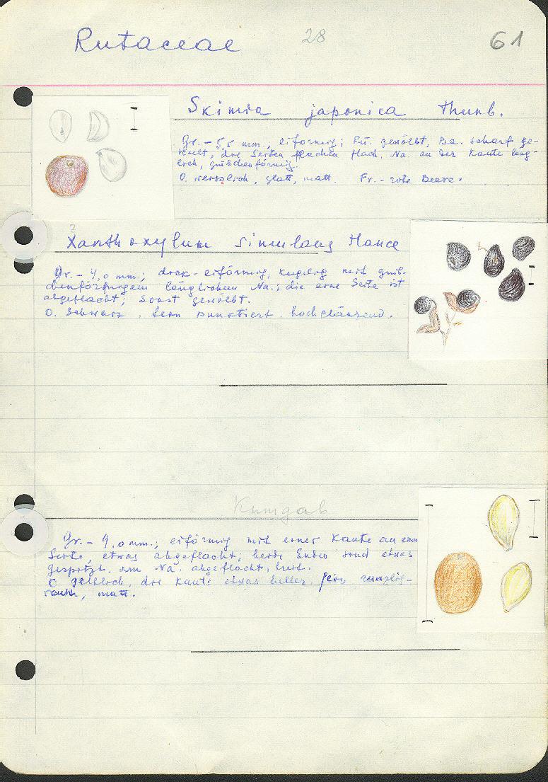 Fortunelle Microcarpa Oval Kumquat